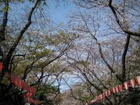 090329sakurayoko